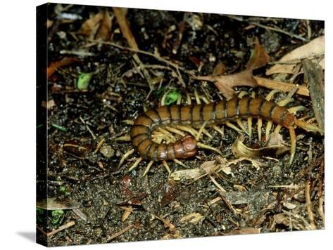 Giant Centipede, New Zealand-Robin Bush-Stretched Canvas Print