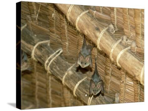 Yellow Wing Bats, Nairobi, Africa-David Cayless-Stretched Canvas Print