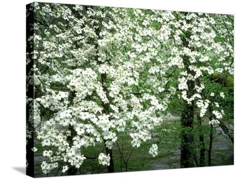 Dogwood Tree, Great Smoky Mnts National Park, USA-Willard Clay-Stretched Canvas Print