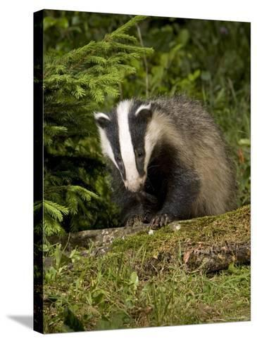 Badger, Climbing on Tree Stump, Vaud, Switzerland-David Courtenay-Stretched Canvas Print