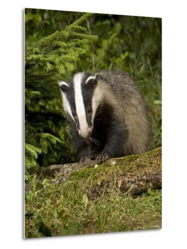 Badger, Climbing on Tree Stump, Vaud, Switzerland-David Courtenay-Metal Print