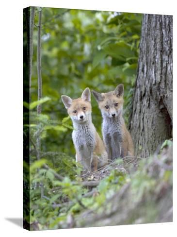 Red Fox, Fox Cubs Outside Den, Vaud, Switzerland-David Courtenay-Stretched Canvas Print