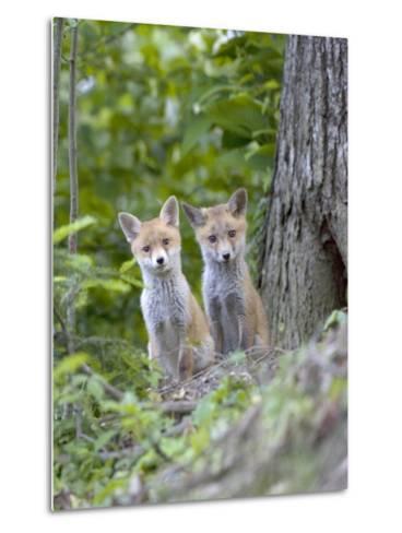 Red Fox, Fox Cubs Outside Den, Vaud, Switzerland-David Courtenay-Metal Print