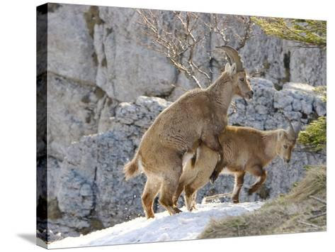 Ibex, Young Ibex Mating, Switzerland-David Courtenay-Stretched Canvas Print