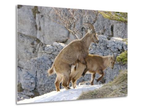 Ibex, Young Ibex Mating, Switzerland-David Courtenay-Metal Print