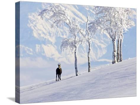 Chamois on Snowy Hillside with Mountain Background, Switzerland-David Courtenay-Stretched Canvas Print