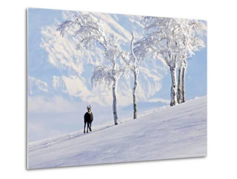 Chamois on Snowy Hillside with Mountain Background, Switzerland-David Courtenay-Metal Print