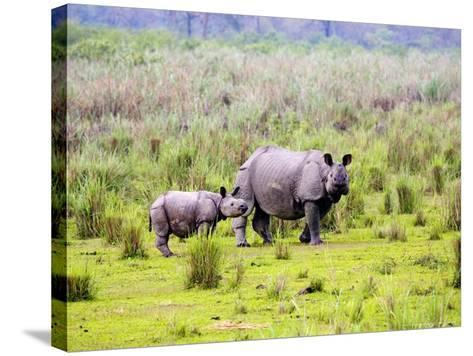 Indian Rhinoceros, Mother and Calf, Assam, India-David Courtenay-Stretched Canvas Print