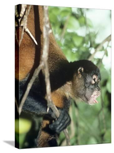 Spider Monkey, Male, Panama-Philip J^ Devries-Stretched Canvas Print
