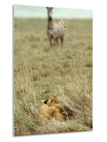 African Lion, Lioness in Ambush, Tanzania-John Downer-Metal Print