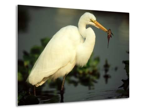 Great Egret, with Fish, Mato Grosso, Brazil-Berndt Fischer-Metal Print