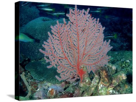 Gorgonian or Sea Fan, Solomon Islands-Karen Gowlett-holmes-Stretched Canvas Print