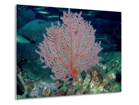Gorgonian or Sea Fan, Solomon Islands-Karen Gowlett-holmes-Metal Print