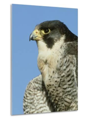 Peregrine Falcon, Close-up Portrait of Adult Male, UK-Mark Hamblin-Metal Print