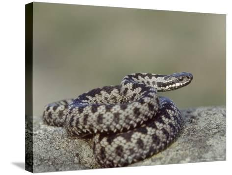 Adder, Male Coiled on Rock, UK-Mark Hamblin-Stretched Canvas Print