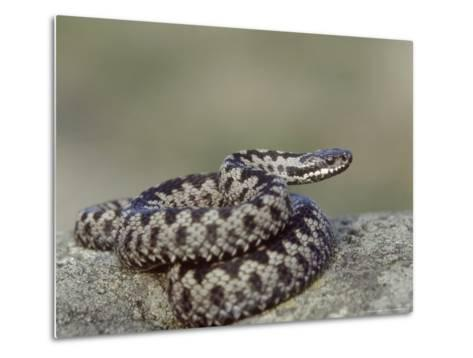 Adder, Male Coiled on Rock, UK-Mark Hamblin-Metal Print