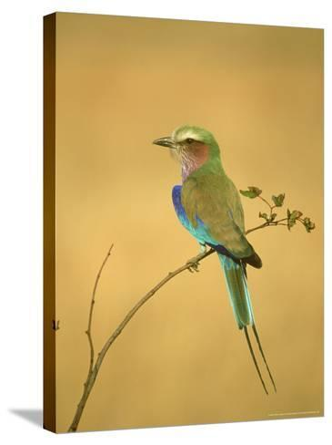 Lilac-Breasted Roller, Coracias Caudata Adult Perched, Botswana, Southern Africa-Mark Hamblin-Stretched Canvas Print