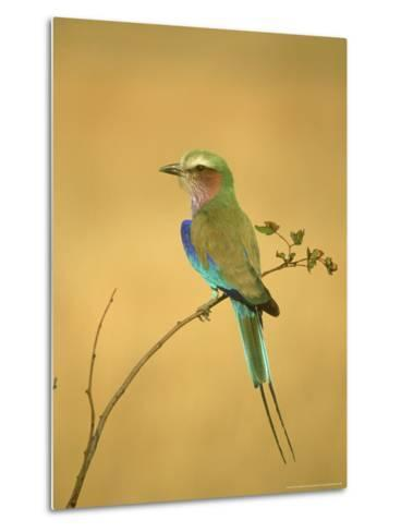 Lilac-Breasted Roller, Coracias Caudata Adult Perched, Botswana, Southern Africa-Mark Hamblin-Metal Print