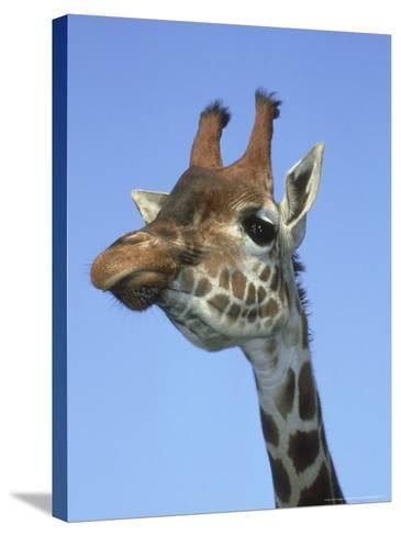 Giraffe, Close-up Portrait-Mark Hamblin-Stretched Canvas Print