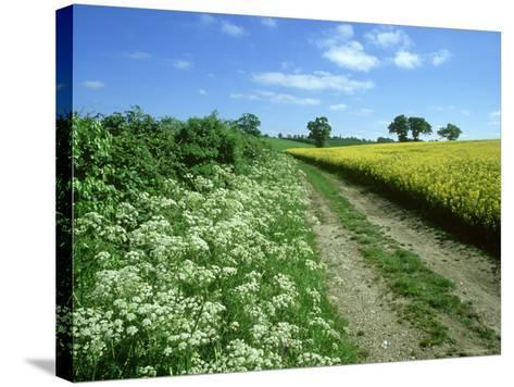 Farmland Habitat, Cow Parsley, England (May)-Mark Hamblin-Stretched Canvas Print
