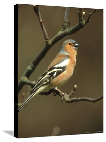 Chaffinch, Fringilla Coelebs Male Singing from Small Branch, S. Yorks-Mark Hamblin-Stretched Canvas Print