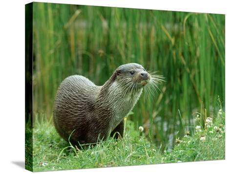 European Otter, Lutra Lutra Riverbank-Mark Hamblin-Stretched Canvas Print