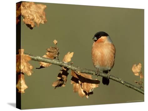 Bullfinch, Pyrrhula Pyrrhula Male Perched on Small Oak Branch, S. Yorks-Mark Hamblin-Stretched Canvas Print