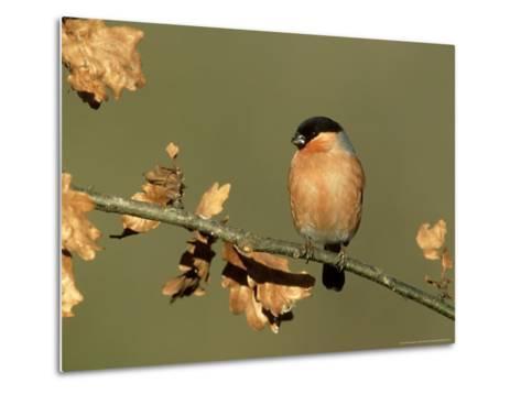 Bullfinch, Pyrrhula Pyrrhula Male Perched on Small Oak Branch, S. Yorks-Mark Hamblin-Metal Print