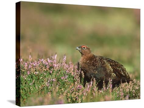 Red Grouse, Lagopus Lagopus Scoticus Male on Heather UK-Mark Hamblin-Stretched Canvas Print