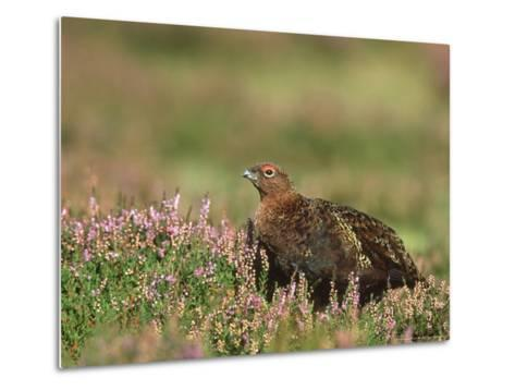 Red Grouse, Lagopus Lagopus Scoticus Male on Heather UK-Mark Hamblin-Metal Print