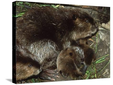Canadian Beaver, Castor Canadensis Female with Young-Mark Hamblin-Stretched Canvas Print