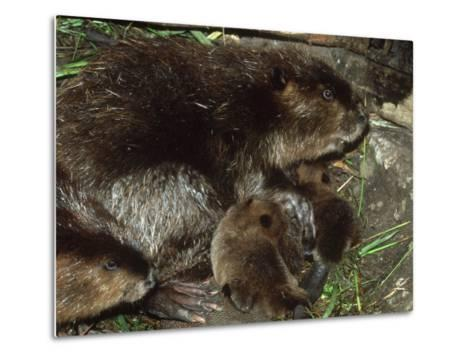 Canadian Beaver, Castor Canadensis Female with Young-Mark Hamblin-Metal Print