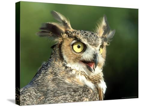 Great Horned Owl, Bubo Viginianus Close up Portrait, Calling, USA-Mark Hamblin-Stretched Canvas Print