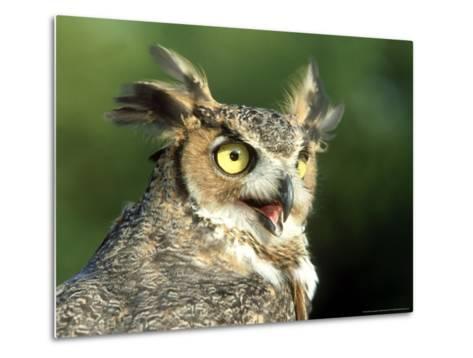 Great Horned Owl, Bubo Viginianus Close up Portrait, Calling, USA-Mark Hamblin-Metal Print