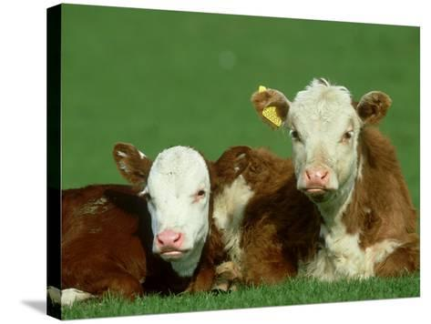 Hereford, Bos Taurus, Close-up of 2 Calves Lying in Meadow, Yorkshire, UK-Mark Hamblin-Stretched Canvas Print