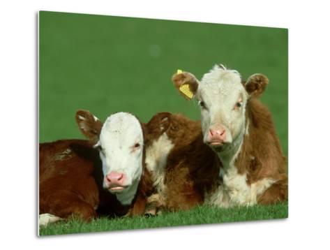 Hereford, Bos Taurus, Close-up of 2 Calves Lying in Meadow, Yorkshire, UK-Mark Hamblin-Metal Print