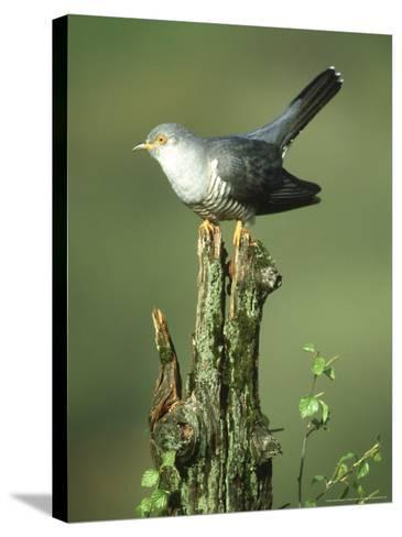 Cuckoo, Cuculus Canorus Male Perched on Post Derbyshire, UK-Mark Hamblin-Stretched Canvas Print
