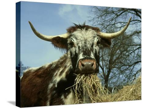 Longhorn Cattle, UK-Mark Hamblin-Stretched Canvas Print
