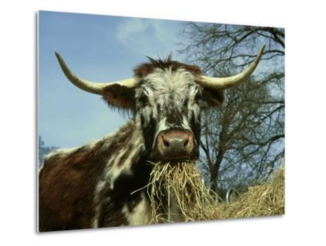 Longhorn Cattle, UK-Mark Hamblin-Metal Print