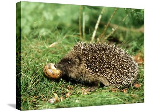 Hedgehog, Youngster Feeding on Snail, UK-Mark Hamblin-Stretched Canvas Print