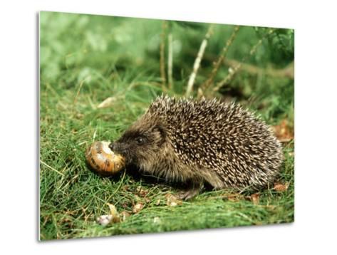 Hedgehog, Youngster Feeding on Snail, UK-Mark Hamblin-Metal Print