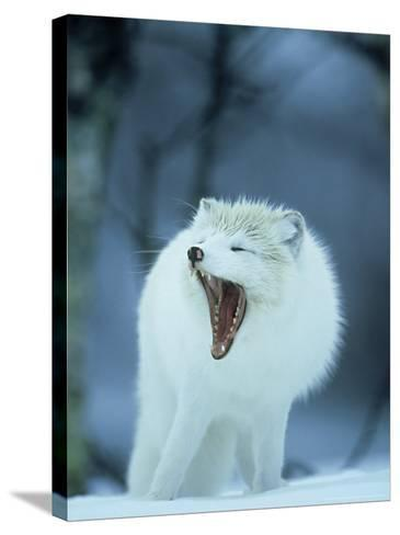 Arctic Fox, Alopex Lagopus Adult Yawning, In Winter Coat, Norway-Mark Hamblin-Stretched Canvas Print