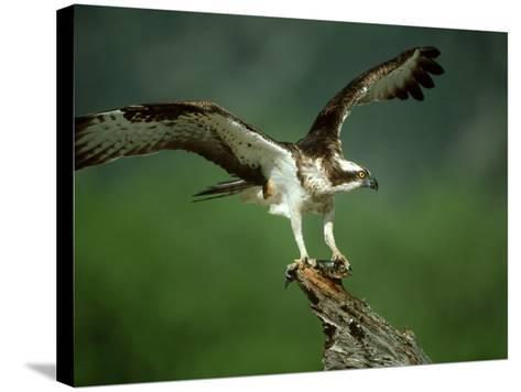 Osprey, Pandion Haliaetus Male on Branch with Fish Scotland, UK-Mark Hamblin-Stretched Canvas Print