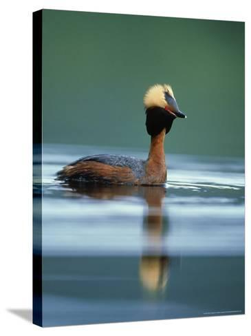 Slavonian Grebe, Podiceps Auritus Adult on Loch in Summer P Lumage, May, Scotland-Mark Hamblin-Stretched Canvas Print