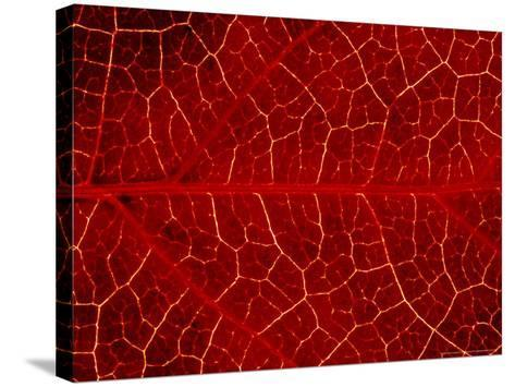 Close-up Detail of Veins In, Leaf of Virginian Creeper October, Scotland-Mark Hamblin-Stretched Canvas Print
