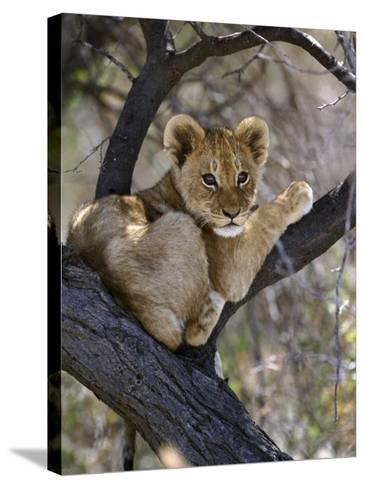 African Lion, Young Cub in Tree, Southern Africa-Mark Hamblin-Stretched Canvas Print