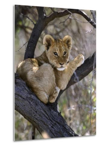 African Lion, Young Cub in Tree, Southern Africa-Mark Hamblin-Metal Print