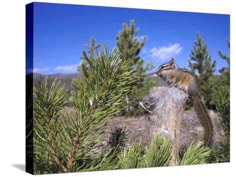 Least Chipmunk on Small Log Showing Habitat, Wyoming, USA-Mark Hamblin-Stretched Canvas Print