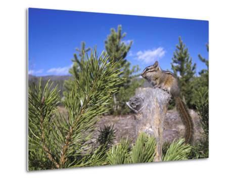 Least Chipmunk on Small Log Showing Habitat, Wyoming, USA-Mark Hamblin-Metal Print