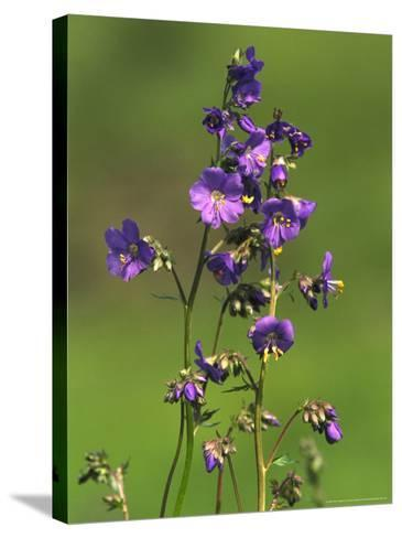 Jacobs-Ladder, Close-up of Flowers, June, UK-Mark Hamblin-Stretched Canvas Print